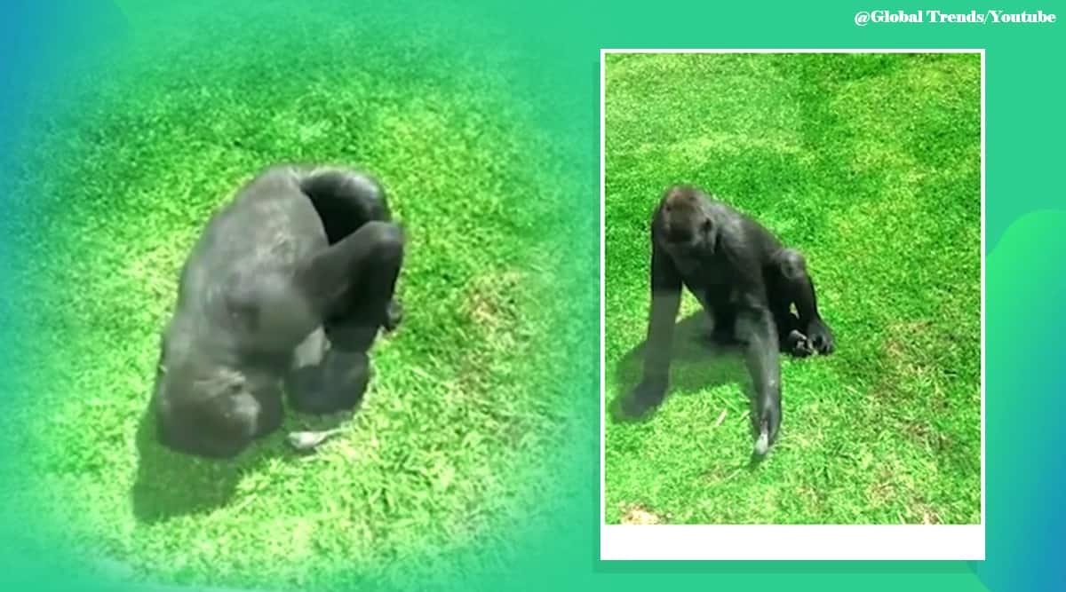 Gorilla injured bird, Gorilla bird Australia zoo, gorilla Australia zoo enclosure, Viral video, Indian Express news.
