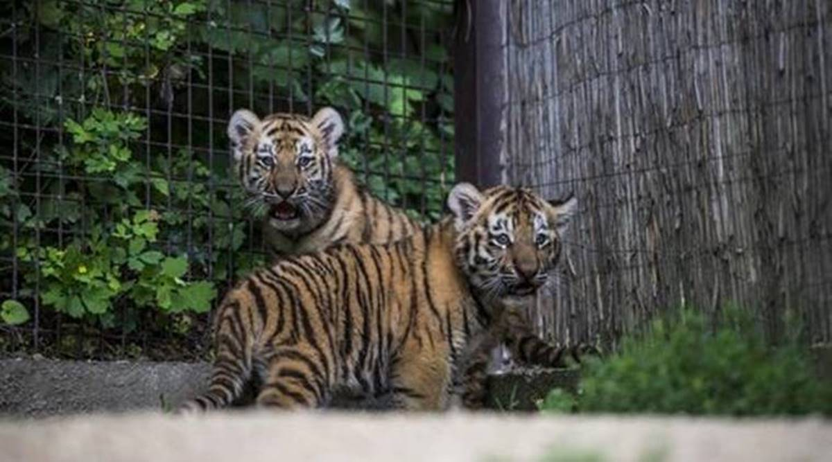 Avni cub released, Avni cub re-wilding, Pench Tiger Reserve, National Tiger Conservation Authority, Nagpur news, Maharashtra news, Indian express news