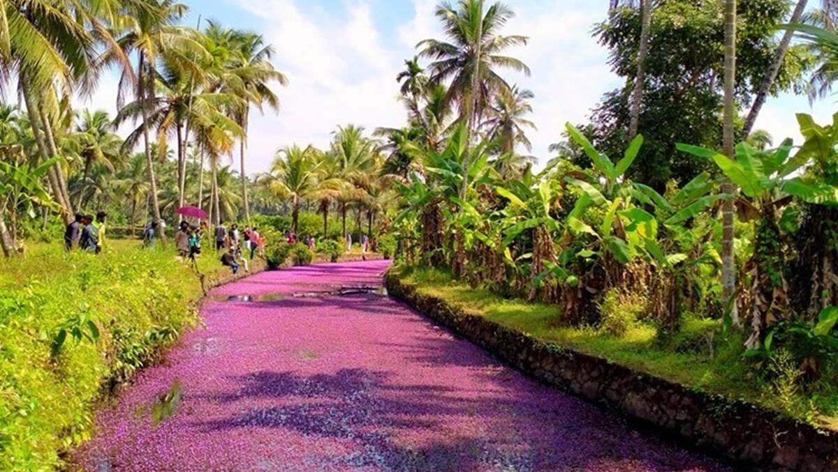 A 'pink bloom' phenomenon is drawing tourists to this Kerala village, but there is a caveat