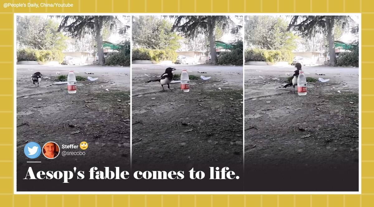 bird uses pebbles to drink water, magpie uses pebbles to drink water, bird use stone to drink from bottle, aesop fable thirsty crow, viral videos, indian express