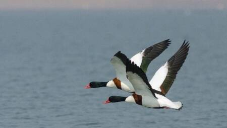 Another 38 migratory birds found dead in Pong Dam sanctuary
