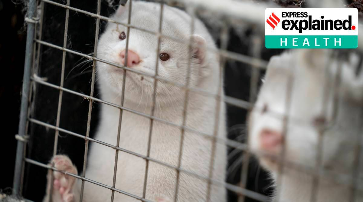 Explained: Why Denmark is culling its 17-million strong mink population
