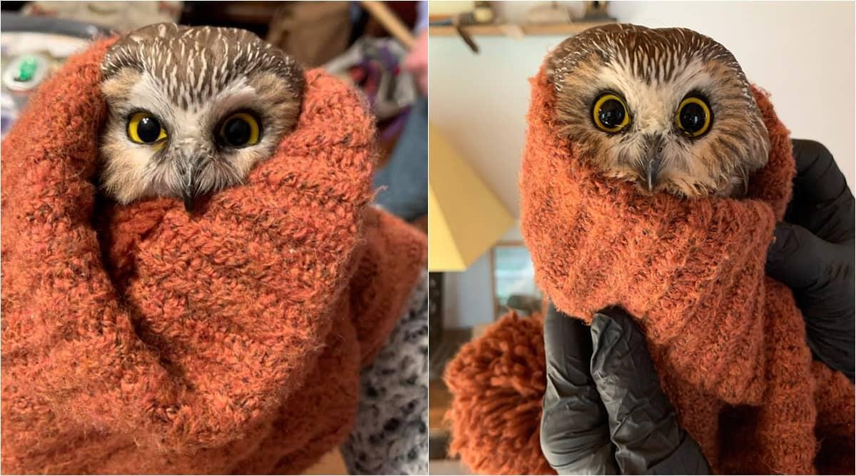 Rockefeller Christmas tree, Rockefeller Christmas tree owl, rockefeller owl, Saw-whet owls, Rockefeller centre tree owl, chritsmas owl, viral news