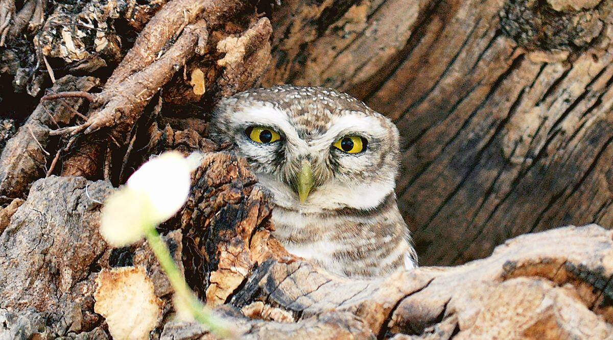 As owls face occult threat on Diwali, Uttarakhand officials step up vigil