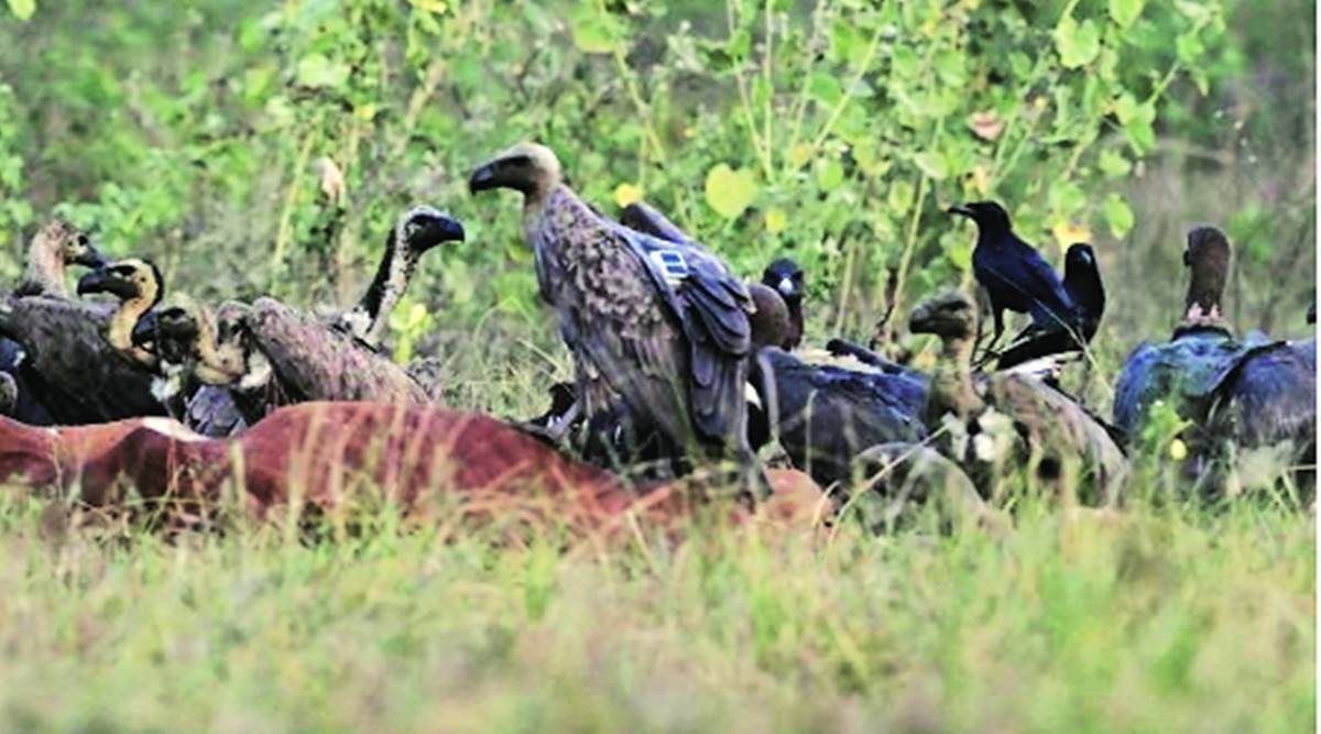 Forest dept satellite tags six vultures in Gujarat