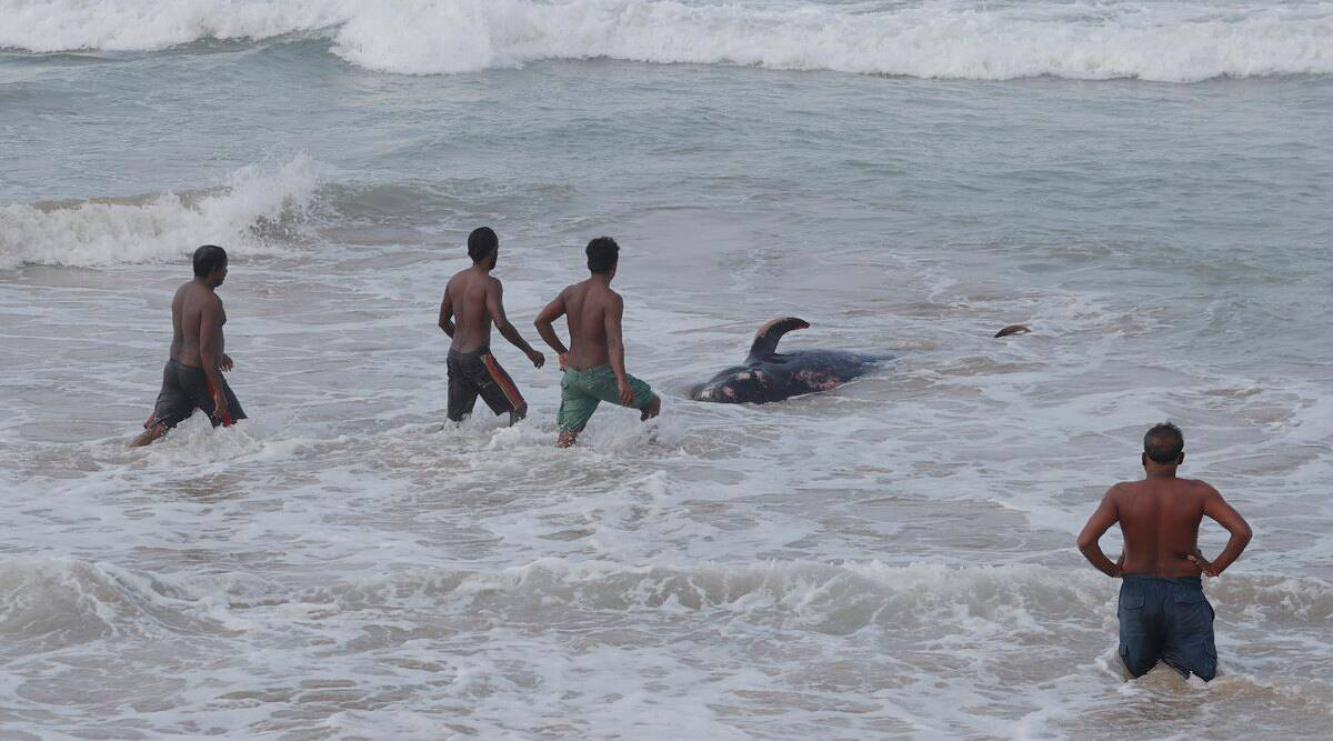 sri lanka, sri lanka whales beached, whales beach in lankan shore, people rescue beached whales, pod of pilot whales lanka, sri lanka whale rescue, viral videos, indian express