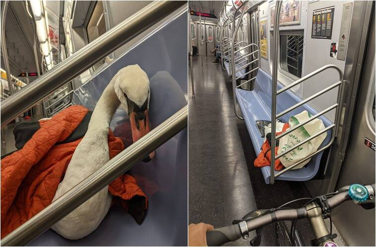 new york woman rescues swan, woman rescues swan, ill swan rescued via hike and subway, good news, viral news, indian express,
