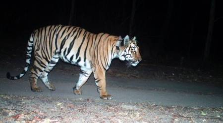 Missing Tigress, Uttarakhand tigress goes missing, Uttarakhand news, Hunt for old Tigress, Aged Tigress missing, India news, Indian express