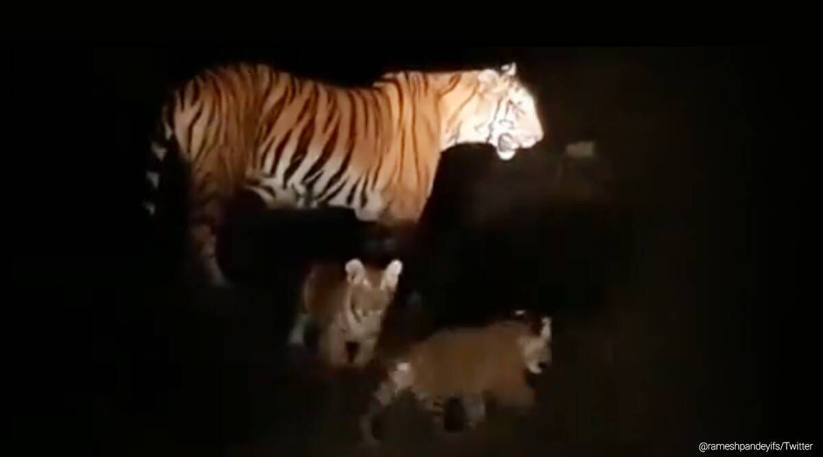 Dudhwa Tiger Reserve, tigress, tiger video, tiger cubs viral video, trending