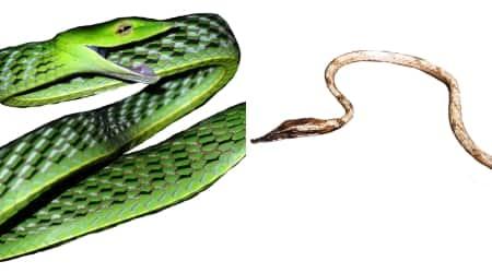 vine snakes, vine snake varieties, vine snake species, iisc research, iisc researchers, vine snakes in india, indian express