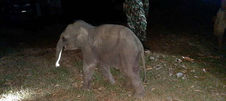 elephant cpr, baby elephant saved by cpr, hero save elephant cpr, elephant calf cpr survives, thai police save elephant cpr, good news, indian express