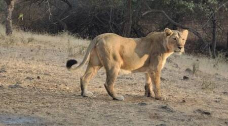 lions in Rajkot to be released