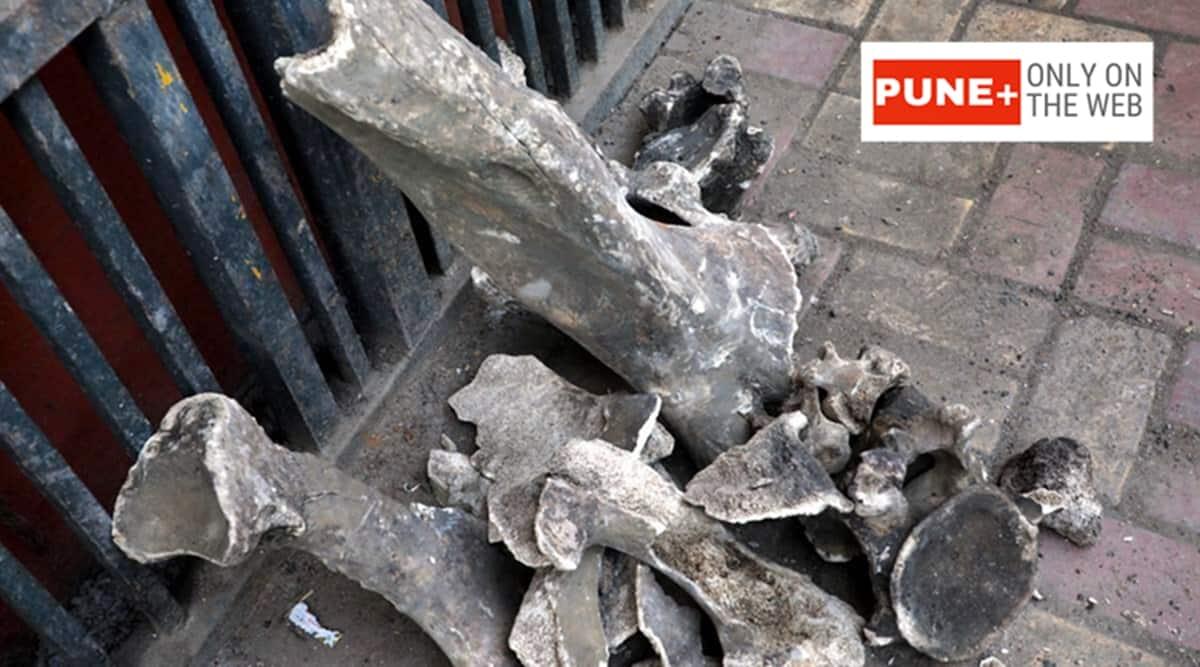 Pune city news, Pune ancient skeletons, elephant skeleton pune, Pune metro, pune metro skeleton discovered, pune city latest news, pune city indian express