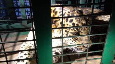 Leopard hiding inside Dehradun airport rescued