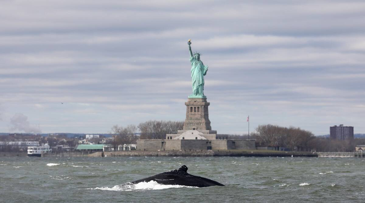 Humpback whale, Humpback whale in New York, Humpback whale Statue of Liberty, viral videos, indian express