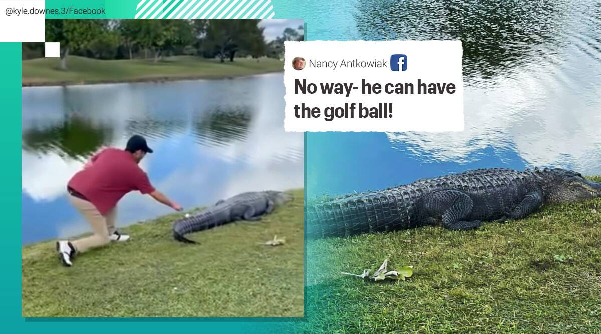 florida alligator golf course, alligator golf ball, man retrieves ball alligator tail, man picks golf ball crocodile tail, golf ball crocodile tail viral video, viral videos, odd news, indian express