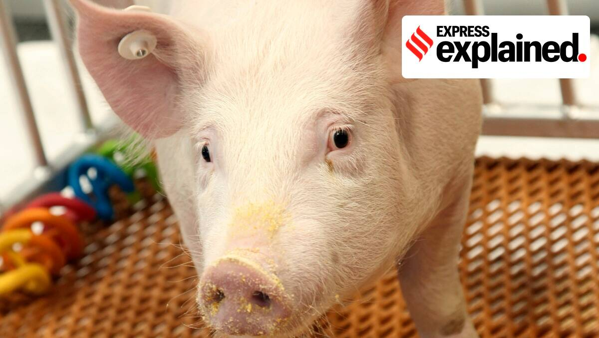 genetically modified pigs, fda genetically modified pigs, US fda pigs, galsafe pigs,