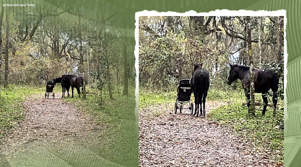 Florida, US, us couple horse viral story, Wild horses steal baby stroller couple Florida, wild horse baby stroller, trending, indian express, indian express news