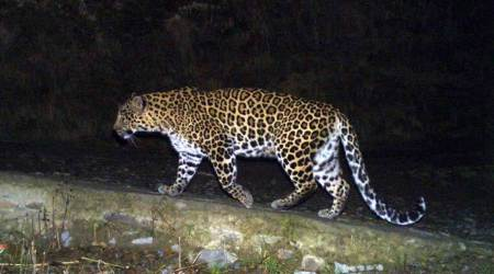 hyderabad airport, leopard near hyderabad airport, man animal conflict, hyderabad airport city distance, hyderabad news, indian express