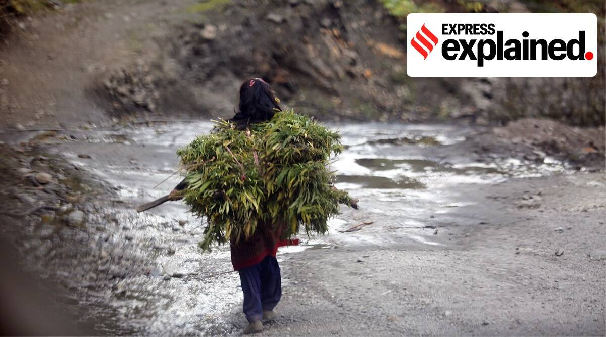 Malana Cream, What is Malana Cream, Charas, Himachal charas, Himachal Malana Cream, Indian Express