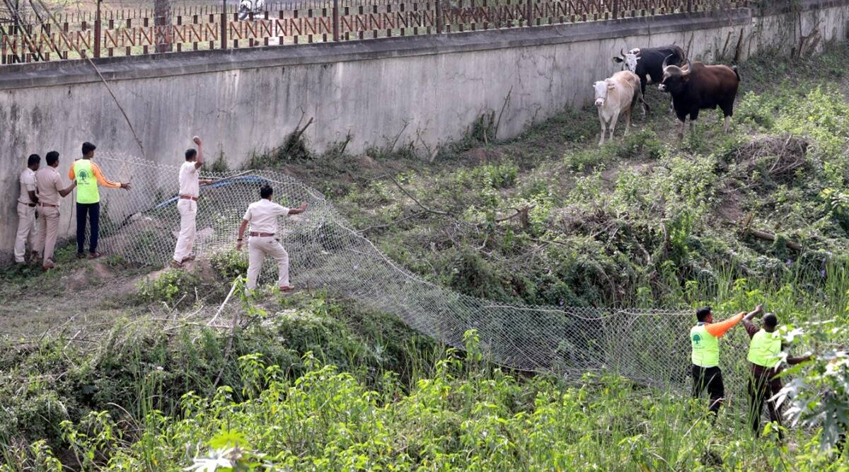 Pune Gaur sightings, Gaurs spotted in Pune, Pune forest area, Pune news, Maharashtra news, Indian express news
