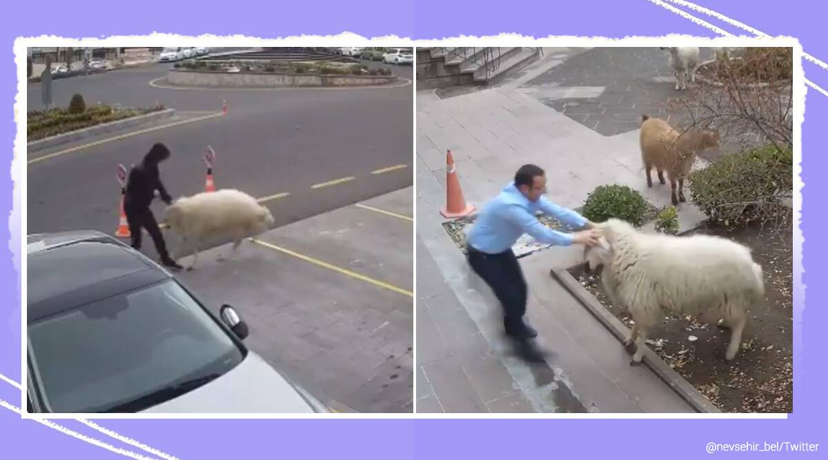 Turkey, Turkey municipality, A goat, a sheep and three lambs terrorize Turkey, Nevşehir, hooves and horns gang, cctv footage, trending news, indian express news