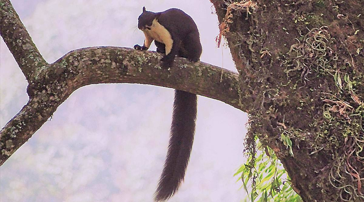 tree squirrel, tree squirrel northeast, Northeast tree squirrel, Malayan Giant Squirrel, tree squirrel extinct, tree squirrel endangered, Indian express