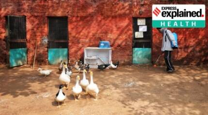 Why bird flu virus has so many strains and what it means for humans