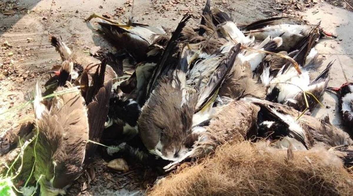 Madhya Pradesh: 155 dead crows detected with bird flu in Indore