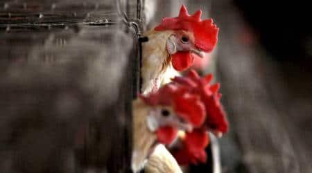 Bird flu outbreak, Tapi district collector, poultry items, Navapur, Maharashtra news, Maharashtra Animal Husbandry department, Gujarat border, bird flu in gujarat, bird flu in maharashtra, bird flu in india, india news, indian express