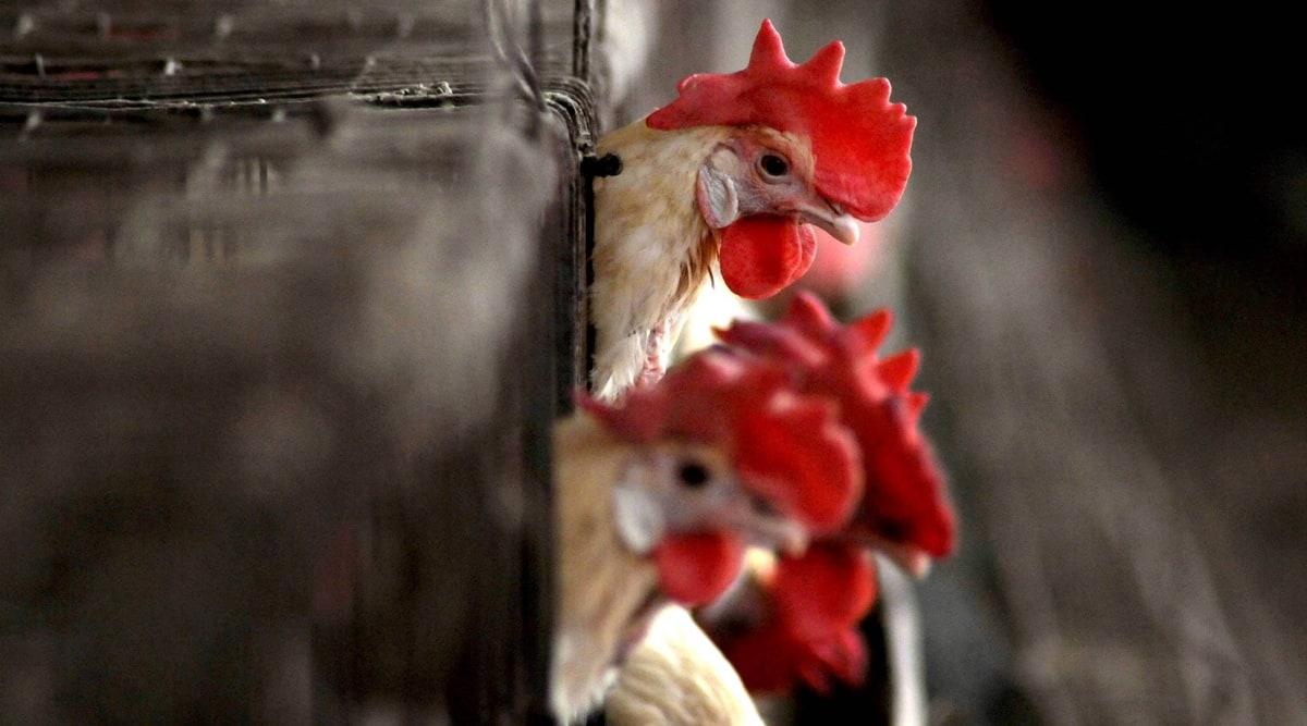 Citing bird flu, Delhi civic bodies ban sale of chicken