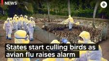 States Start Culling Birds As Avian Flu Raises Alarm Across Country