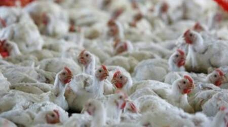Bird flu, Avian influenza, Delhi birds, Ghazipur poultry mandi, chicken market, Delhi news, Indian express