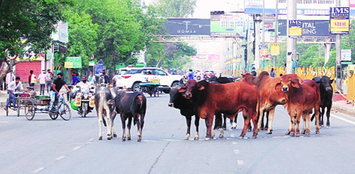 North MCD raises fines on illegal cattle shelters