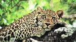 Gujarat leopard attacks farmer