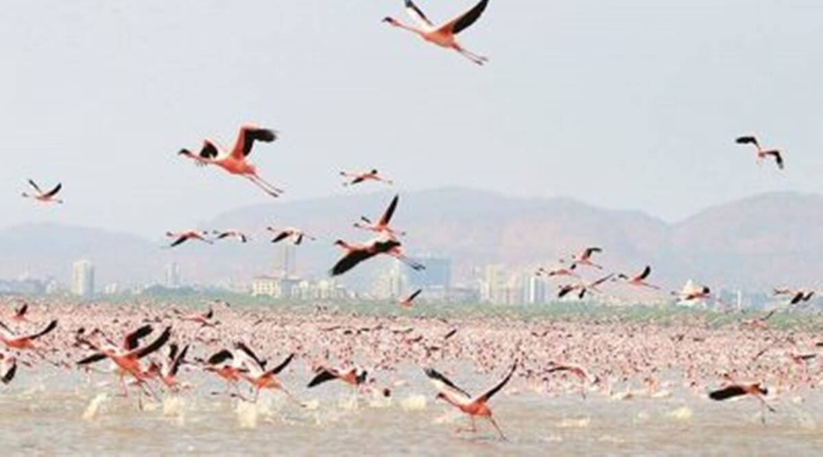 Himachal Pradesh Bird Flu, Pong Dam lake Migratory Birds Dead, Shimla Migratory Birds Death, shimla bird flu, Shimla Poultry Birds Death, Indian Express News, Indian Express,