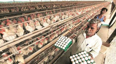 Chandigarh news, Chandigarh bird flu, bird flu news, Poultry bird flu, Forest and wildlife department of Chandigarh, chandigarh latest news, meat and egg prices, chicken price in chandigarh, indian express