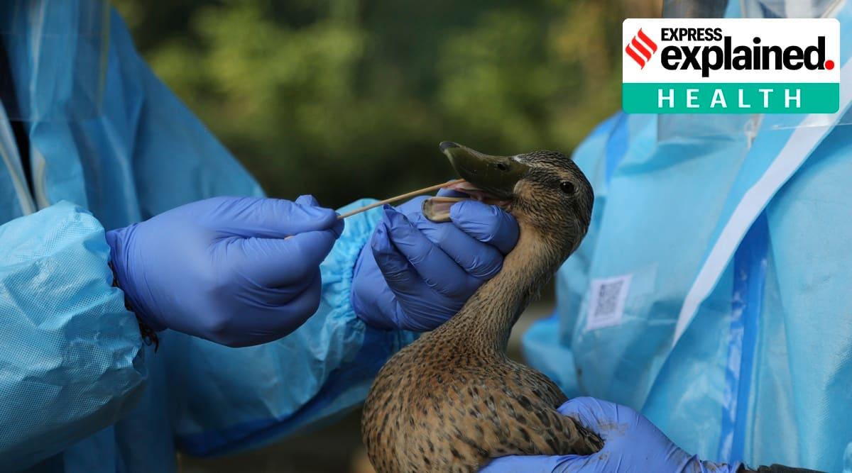 bird flu, bird flu india, avian influenza, h5n1, bird flu india cases, what is bird flu, india poultry sector, are eggs safe to eat, indian express
