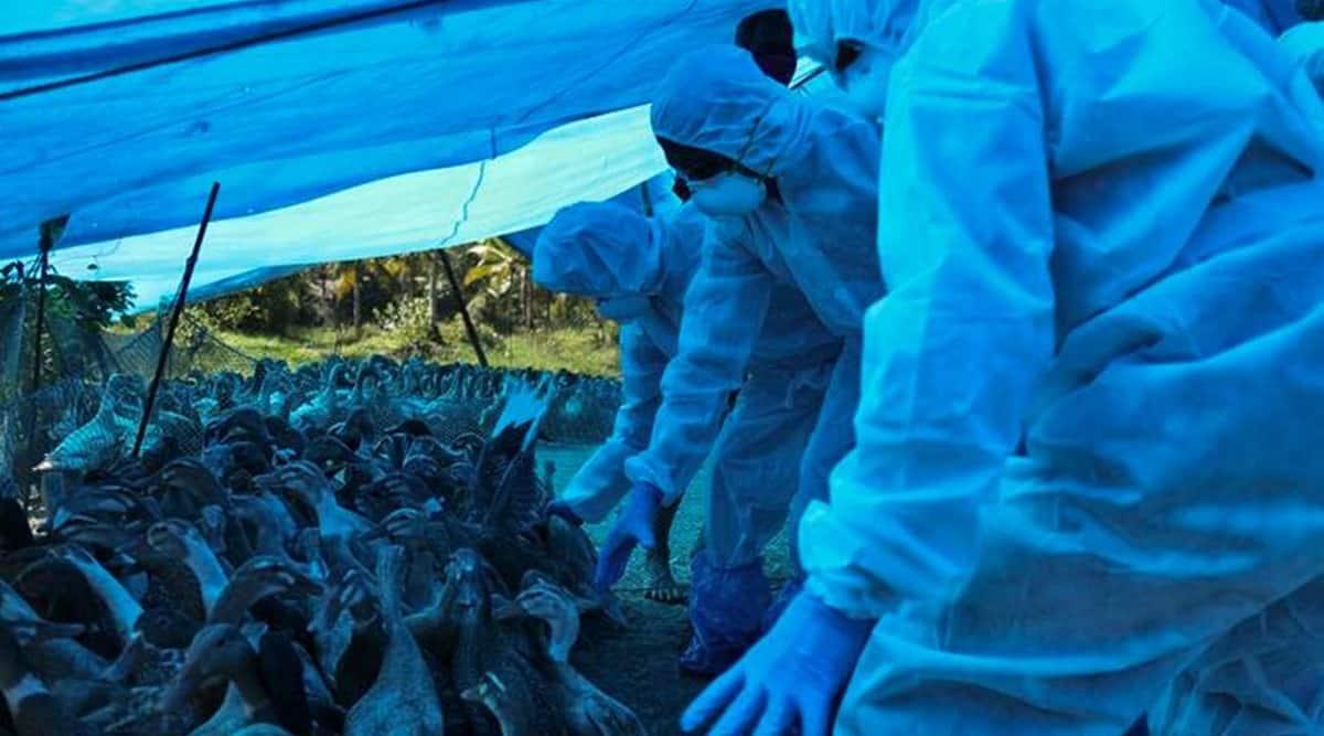 Bird flu, haryana Bird flu, haryana bird flu cases, india bird flu, birdflu news, indian express news
