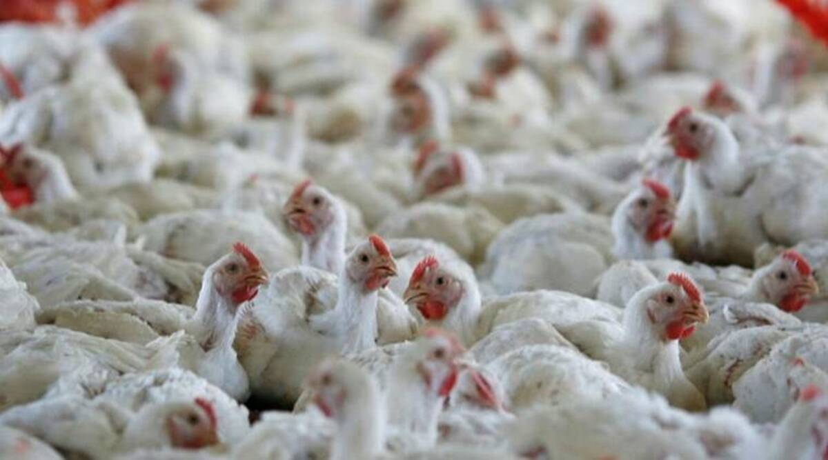 Avian flu in Haryana, Bird flu in Haryana, poultry birds dying in Punjab, Barwala news, Punjab news, Indian Express