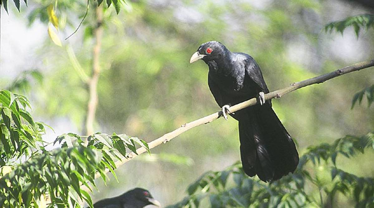 Emerging from one plague, some Romans face another: Attacking crows