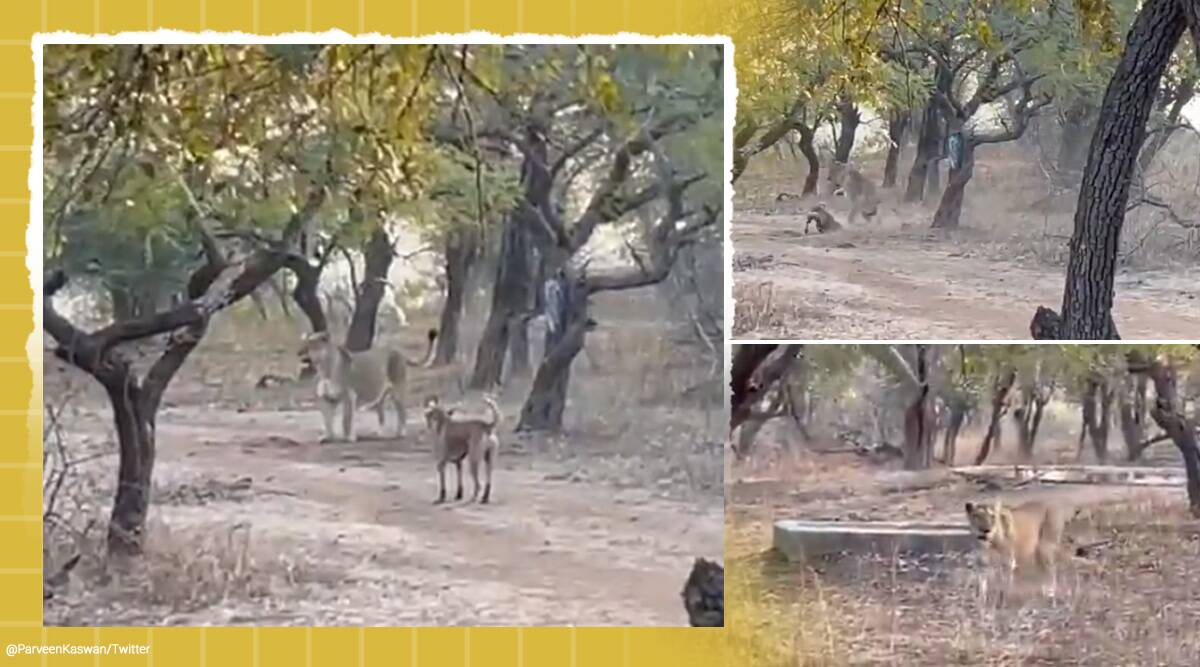 dog and lioness fight, lion, gir national park, dog lion viral video, twitter reactions, trending, indian express, indian express news