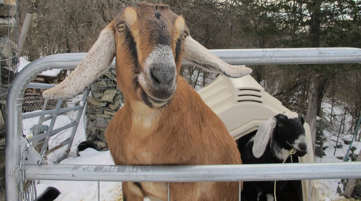 Dog and Goat, honorary mayor, community playground fundraiser, Vermont, Trending news, Indian Express news