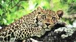 Maharashtra leopard deaths, Maharashtra leopards, Maharashtra leopard death committee, maharashtra news, indian express news