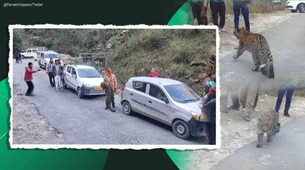 leopard playing with humans himachal, himachal leopard playing with people, playful leopard tirthan valley, himachal forest fires, viral videos, indian express