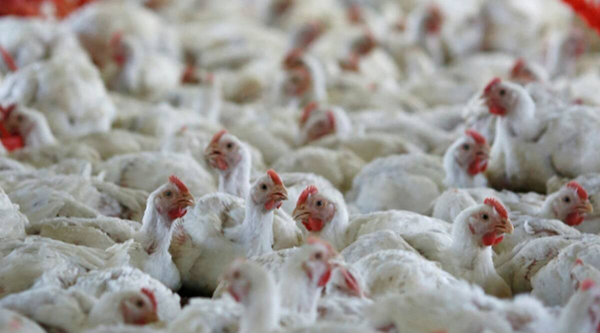 Bird flu, Bird flu india, Bird flu maharashtra, Poultry prices, Poultry prices collapse, indian express news