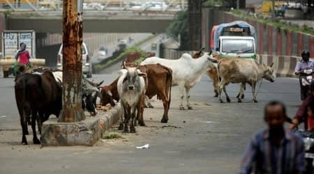 North Delhi Municipal Corporation, stray cattle, delhi stray cattle chip implant, Delhi news, indian express news