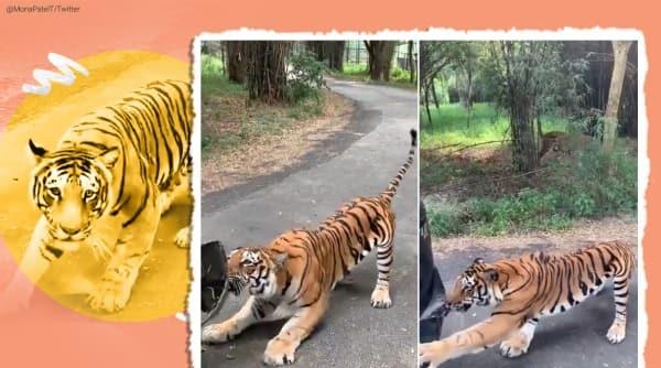 Bengaluru, tiger, tiger Bannerghatta park, tiger pulls car viral video, twitter reactions, trending, indina express, indian express news