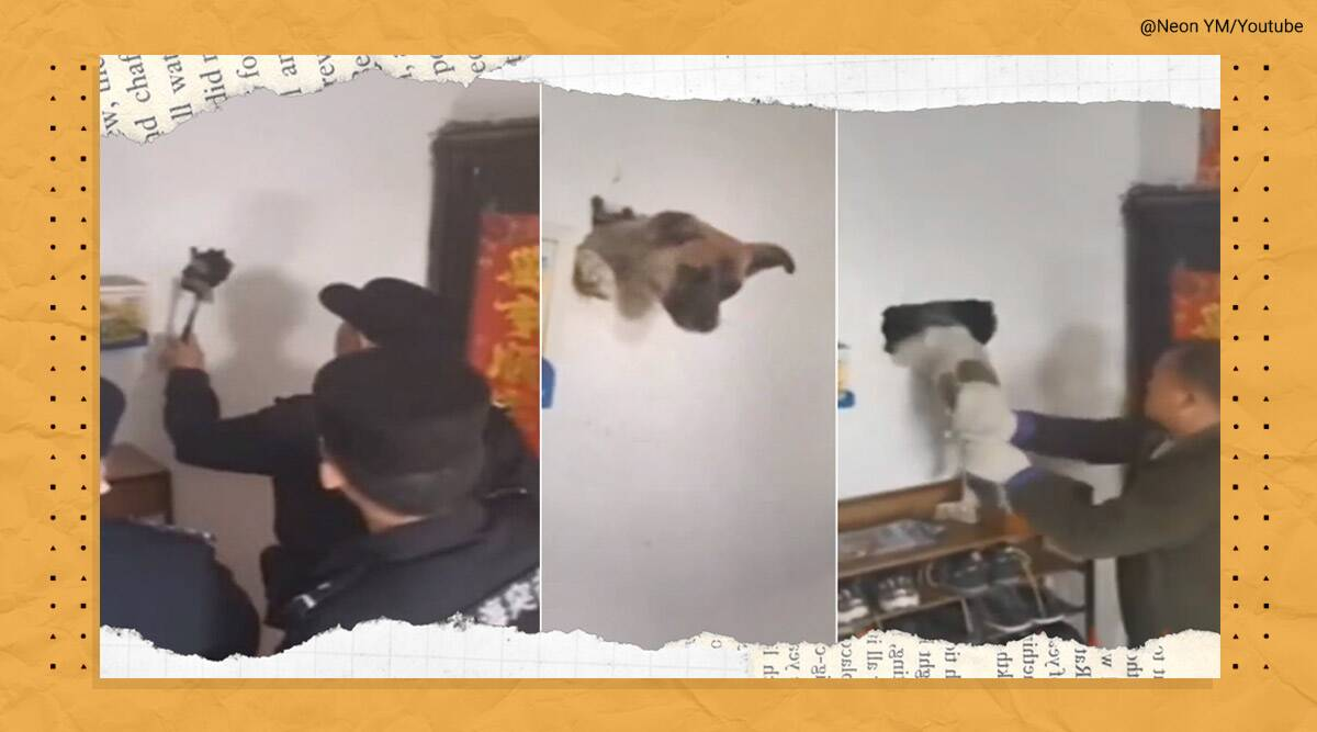 Dog inside wall, Dog stuck inside wall, Dog trapped inside wall, Dog rescue video, Dog rescue china video, Dog viral videos, China, Dog trapped inside wall rescue video, Trending news, Indian Express news