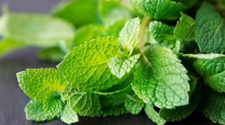 pudina, pudhina, benefits of pudina, benefits of mint leave, what is pudina, pudina leaves benefits, oral care pudina leave, healthy eating, herbs and spices, indian herbs, indian express lifestyle